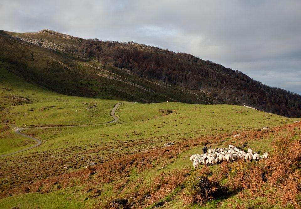 Pequeño rebaño de ovejas y corderos pastando en un valle de Navarra