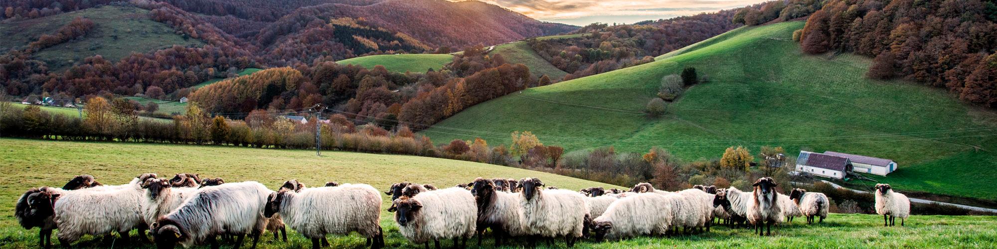 Rebaño de ovejas lachas pastando