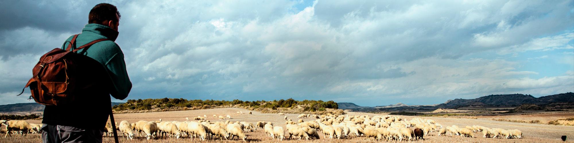 Un pastor observa el rebaño de ovejas y corderos mientras pastan en el campo