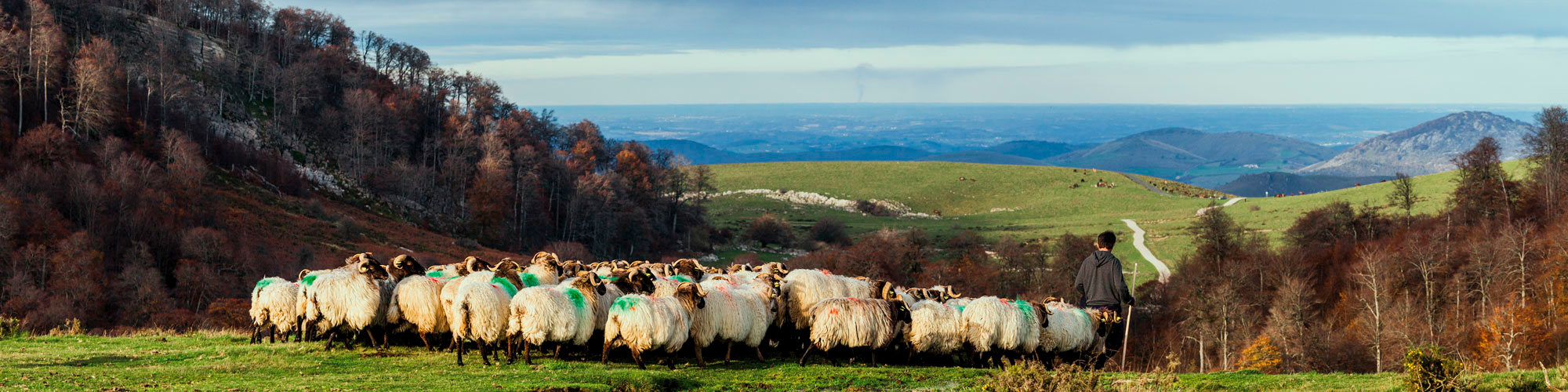 Pastor conduce un rebaño de ovejas por los pastos entre las montañas